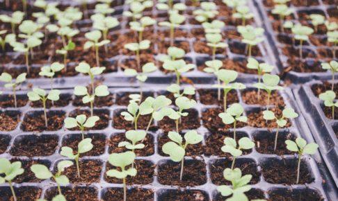 たくさんの野菜の芽