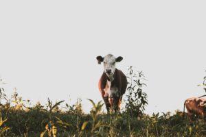 牛から排出されるメタンなどの温室効果ガスによる地球温暖化