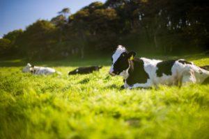 放牧され飼育されている乳牛や家畜