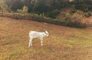 牧場に一匹でたたずむ仔牛